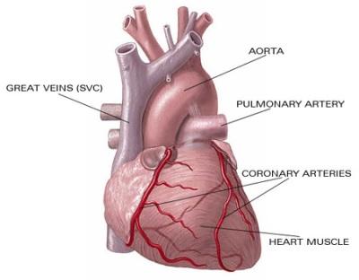 jantung-anatomi